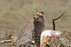 Cheetah_Feast_Mara_Kenya_Asilia_20150244