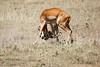 Cheetah_Feast_Mara_Kenya_Asilia_20150180