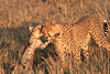 Morning Hunt Cheetah Cubs Mara Topi House