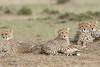 Cheetah_Family_Portraits_Mara_Kenya_Asilia_20150031