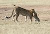 Cheetah_Cub_Playing_Mom_Mara_Kenya_Asilia_20150002