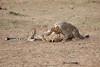 Cheetah_Cubs_Mara_Kenya_Asilia_20150149