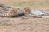 Cheetah_Cubs__Mara_Kenya_Asilia_20150012