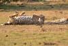 Cheetah_Cubs_Mara_Kenya_Asilia_20150195