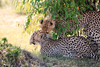 Cheetah_Cubs_Mara_Kenya_Asilia_20150034