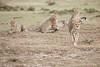 Cheetah_Family_Portraits_Mara_Kenya_Asilia_20150022