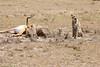 Cheetah_Feast_Mara_Kenya_Asilia_20150232