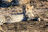 Cheetah_Family_Phinda_2016_0009