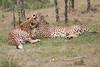 Cheetah_Mara_Asilia_Kenya0025