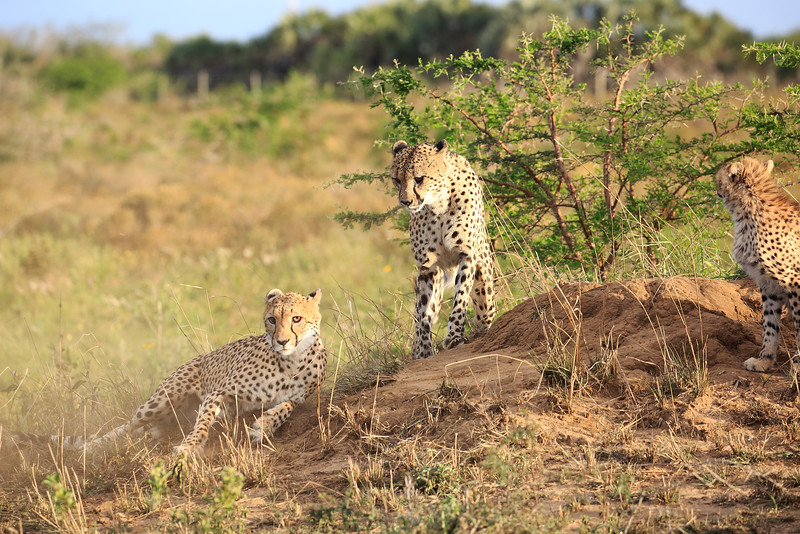 Cheetah_Adventure_Phinda_2016_0020