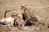 Cheetah_Feast_Mara_Kenya_Asilia_20150224