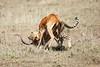 Cheetah_Feast_Mara_Kenya_Asilia_20150158