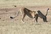 Cheetah_Cub_Playing_Mom_Mara_Kenya_Asilia_20150006