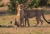 Cheetah_Cubs_Mara_Kenya_Asilia_20150236