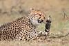 Cheetah_Mara_Asilia_Kenya0046