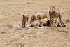 Cheetah_Feast_Mara_Kenya_Asilia_20150059