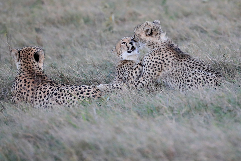 Cheetah_Family_Phinda_2016_0098