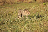 Cheetah_Adventure_Phinda_2016_0007