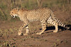 Cheetah_Family_Phinda_2016_0043