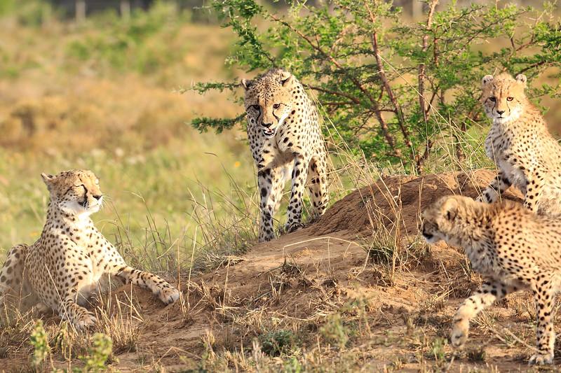 Cheetah_Adventure_Phinda_2016_0024