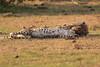 Cheetah_Cubs_Mara_Kenya_Asilia_20150295