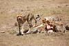 Cheetah_Feast_Mara_Kenya_Asilia_20150112
