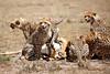 Cheetah_Feast_Mara_Kenya_Asilia_20150220