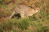 Cheetah_Adventure_Phinda_2016_0011