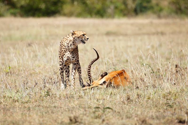 Cheetah_Feast_Mara_Kenya_Asilia_20150190