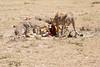 Cheetah_Feast_Mara_Kenya_Asilia_20150055