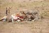Cheetah_Feast_Mara_Kenya_Asilia_20150127