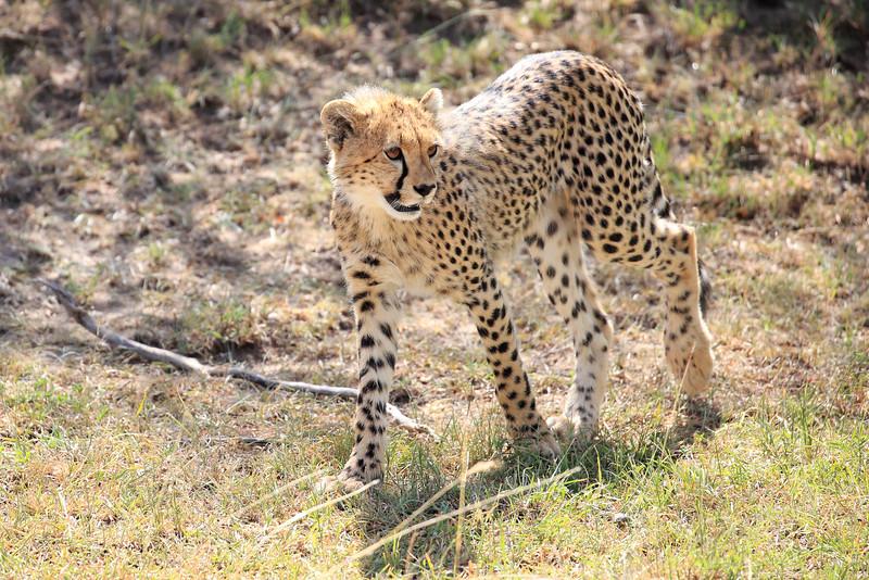 Cheetah_Cubs_Mara_Kenya_Asilia_20150056