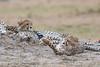 Cheetah_Cubs__Mara_Kenya_Asilia_20150008