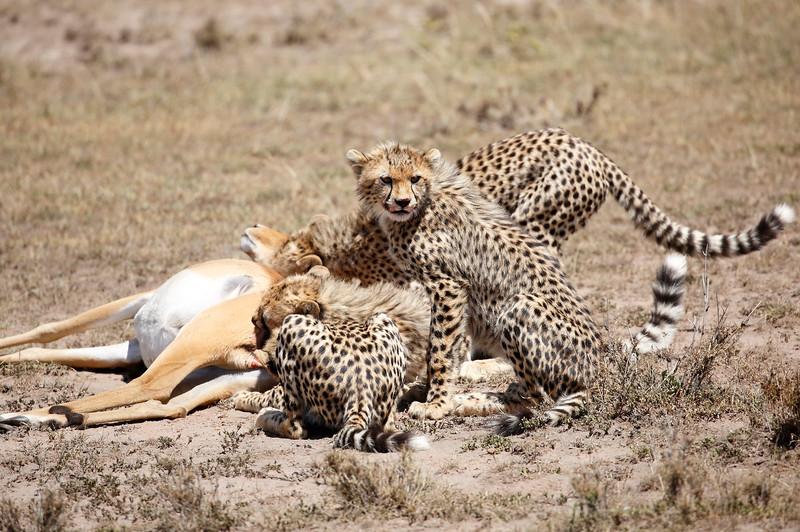 Cheetah_Feast_Mara_Kenya_Asilia_20150012