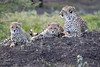 Cheetah_Family_Phinda_2016_0102
