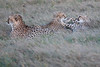 Cheetah_Family_Phinda_2016_0095
