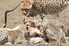 Cheetah_Feast_Mara_Kenya_Asilia_20150261