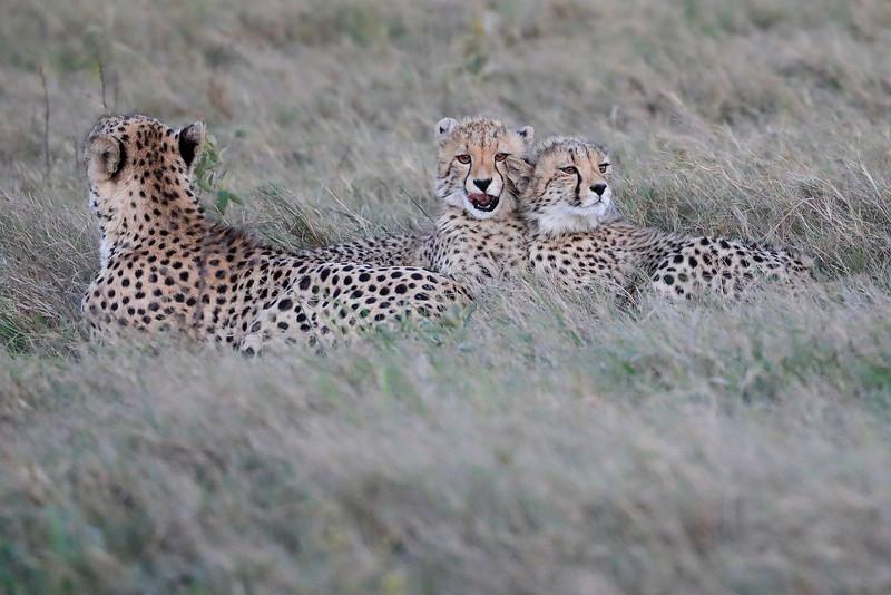 Cheetah_Family_Phinda_2016_0073