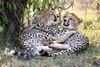 Cheetah_Cubs_Mara_Kenya_Asilia_20150091