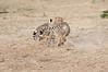 Cheetah_Cubs_Mara_Kenya_Asilia_20150139