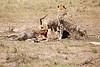 Cheetah_Feast_Mara_Kenya_Asilia_20150105