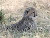 Cheetah Kenya Mara Cub