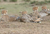 Cheetah_Family_Portraits_Mara_Kenya_Asilia_20150042