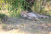 Cheetah_Cubs_Mara_Kenya_Asilia_20150024