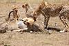 Cheetah_Feast_Mara_Kenya_Asilia_20150084