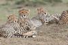 Cheetah_Family_Portraits_Mara_Kenya_Asilia_20150049