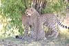 Cheetah_Cubs_Mara_Kenya_Asilia_20150061