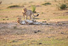 Cheetah_Cubs_Mara_Kenya_Asilia_20150112