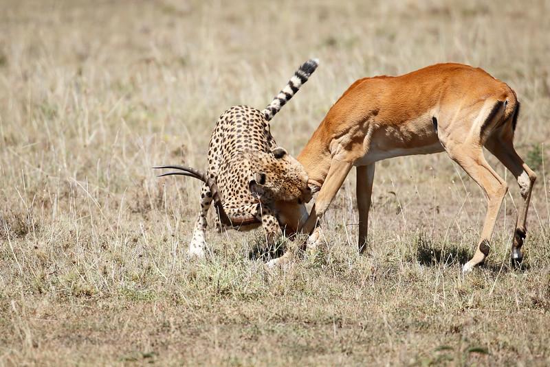 Cheetah_Feast_Mara_Kenya_Asilia_20150150