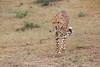 Cheetah_Mara_Asilia_Kenya0017